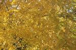 銀杏 紅葉 黄葉 : イチョウの林を仰ぐと・・・