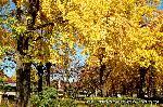 銀杏 紅葉 黄葉 : イチョウ公園北側