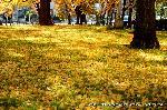 銀杏 紅葉 黄葉 : 烏丸通の真ん中に位置する黄金色の空間