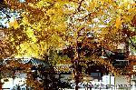 銀杏 紅葉 黄葉 : イチョウ公園から御影堂前門を覗う