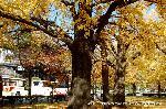 銀杏 紅葉 黄葉 : イチョウの林から阿弥陀堂門を覗う