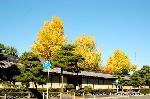 銀杏 紅葉 黄葉 : 烏丸通に面した塀