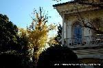 銀杏 紅葉 黄葉 : 西本願寺大教校(だいきょうこう)の施設として建てられた講堂