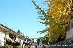 銀杏 紅葉 黄葉 : 左手億に唐門 右手前は龍谷大学大宮学舎講堂