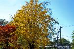銀杏 紅葉 黄葉 : イチョウの右下にお堂が