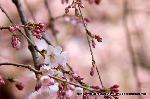 東日本大震災 : イトザクラの開花
