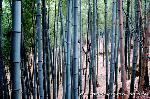 初詣 狛犬 狛龍 パワースポット : 境内を囲む竹林
