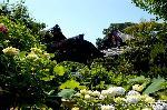 花暦 あじさい : 蓮の前には、苑池の周りに紫陽花や花菖蒲が花開かせる