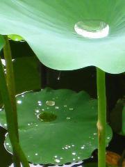 花暦 蓮 : 祇園祭の頃に蓮の花のたよりが届き、盛夏に向けて次々と花開いてゆきます。 この寺院の蓮池はまだ固い蕾ですが、朝露が残る葉も楽しみのひとつとなっています。7/26からは法金剛院の観蓮会がはじまります。
