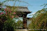 萩の寺 : 萩供養もおわり、朝日を受けて日ごと開き、見頃が続いています。