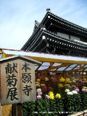 本願寺献菊展 : 本堂の前庭に500鉢が展示され早朝から自由に鑑賞することができる。11月上旬頃に見頃を迎える菊の花。パスポートにもあるように日本の国章となる花です。