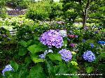 花暦 あじさい : 5月28日に京都は入梅。 丁度市内のあちこちにアジサイの花が見られるようになりました。 写真は智積院のあじさい苑で、墓地までの区間が無料で観賞できます。 藤森神社、三室戸寺、善峯寺、三千院など、各々に見頃を確かめられておでかけになる6月でしょうか。