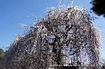 千本釈迦念仏と阿亀桜 : 3月22日は国宝千本釈迦堂(大報恩寺)を訪ねられてはどうだろうか。 国宝に指定されている本堂「釈迦堂」に無料で入れ、「千本釈迦念仏」の声明を聞き、後追いながら唱えられると清清しくなれる上、開花した釈迦堂前の阿亀桜(おかめざくら)も、見ごろにはあと一息かも知れないが、お花見もできてありがたい一日となります。 千本釈迦念仏とは、本尊釈迦如来坐像をまつり、 国宝千本釈迦堂の名で親しまれる真言宗智山派・大報恩寺で行われる念仏法要。 吉田兼好の「徒然草」にも書かれた念仏会のこと。
