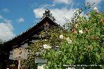 花暦 酔芙蓉 : 萩にはまだ少し早いが、芙蓉・酔芙蓉は楽しめます。 百日紅・秋海棠と寺院の庭に花は絶えません。