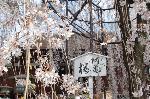おかめ桜に千本釈迦念仏