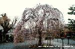 千本釈迦念仏 花見 彼岸会 観桜 : 遺教経会の日の阿亀桜