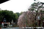 千本釈迦念仏 花見 彼岸会 観桜 : 阿亀桜におかめ塚
