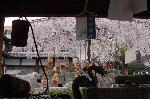 千本釈迦念仏 花見 : 手水舎から望む御幸桜に包まれる羅漢像