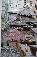 千本釈迦念仏 花見 : 御幸桜