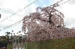 千本釈迦念仏 花見 : 枝垂桜