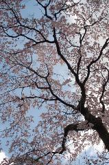 千本釈迦念仏 花見 : 岡崎桜馬場通沿いに咲く大木の枝垂桜。