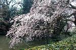 千本釈迦念仏 花見 : 池に這う糸桜
