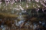 千本釈迦念仏 花見 : 池映りの糸桜