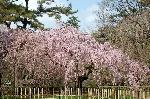 千本釈迦念仏 花見 : 糸桜