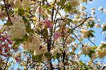 京の八重桜探訪