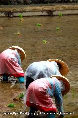 お田植祭  : 神官の合図で田植えが始まった