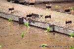 お田植祭  : 秋には茶碗2000杯分の米が収穫される