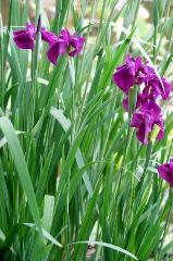 梅雨 野花菖蒲 花暦 : 田植えと梅雨を知らせる野花菖蒲