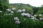 梅雨 野花菖蒲 花菖蒲 花暦 : 借景と池庭に咲く花菖蒲