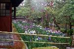 梅雨 野花菖蒲 花菖蒲 花暦 : 塀外に作庭された裏庭