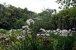 梅雨 野花菖蒲 花菖蒲 花暦 : 大斐閣の鳳凰を見上げる花菖蒲