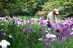 梅雨 野花菖蒲 花菖蒲 花暦 : 花菖蒲を手入れする造園夫