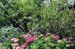 梅雨 紫陽花 花暦 梅 : 紫陽花の上に梅の実が熟す