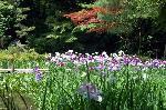 梅雨 野花菖蒲 花菖蒲 花見 : 緑陰と花菖蒲