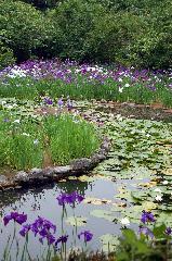 梅雨 野花菖蒲 花菖蒲 花暦 : 勾玉池の花菖蒲