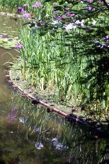 梅雨 野花菖蒲 花菖蒲 花見 : 白虎池 池映りの花菖蒲