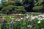 梅雨 野花菖蒲 花菖蒲 花見 : 西神苑白虎池