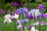 梅雨 野花菖蒲 花菖蒲 花暦 : 京都一の花菖蒲園と呼ぶにふさわしい