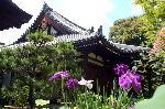 梅雨 野花菖蒲 花菖蒲 花暦 : 関西花の寺第13番 蓮の寺