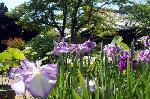 梅雨 野花菖蒲 花菖蒲 花暦 : 蓮と花菖蒲の鉢が競って並ぶ