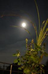 十五夜 お月見 : ススキ・萩