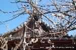 観梅 軒端梅 : 法成寺に咲いた軒端梅のように思う