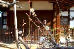 観梅 軒端梅 : 傷みのひどい老木の幹から枝を伸ばす若枝に咲く