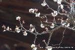 観梅 軒端梅 : 今を盛と見えて候、如何樣名のなき事は候まじ