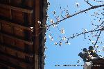 観梅 軒端梅 : 軒に向かって花開かせている