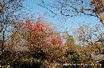 観梅 : 雑木林の紅梅・白梅と塔頭の甍